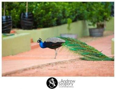 Peacock roaming the grounds